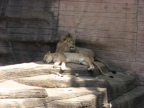 cuddly lions