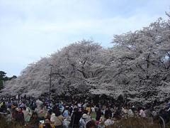 20080329_小金井公園花見