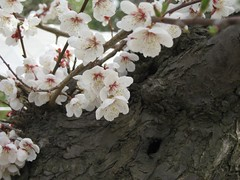 plum (mamako7070) Tags: spring plum ume plumblossom 梅 うめ 豊後梅 bungoume