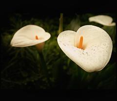 Callae (Mera_CravoyCanela) Tags: flowers nature garden calle flora calla atmosphere natura dew fiori rugiada atmosfera giardino callapalustris articulateimages