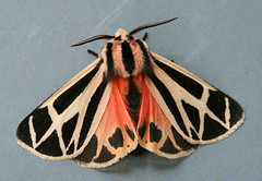 Harnessed Tiger Moth