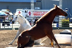 Horses at Liberty (Just chaos) Tags: from horse view you photos or everyone ungulate animalia mammalia equus domesticated equidae equuscaballus chordata perissodactyla oddtoed oddtoedungulate caballusx