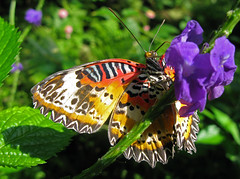 Malaysian Lacewing (David Lee Tiller) Tags: butterfly twtme malaysianlacewing