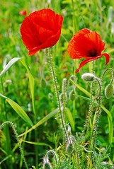 poppies (Margaret Stranks) Tags: field poppy poppies