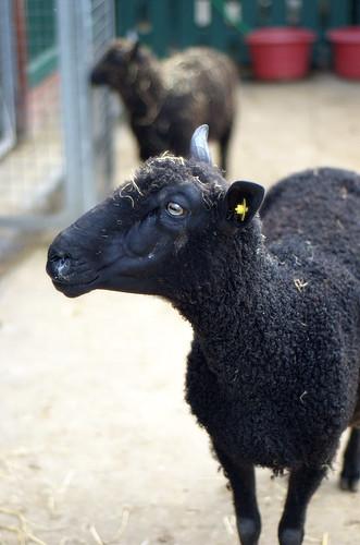 Lamby?