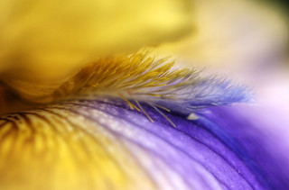 Yellow and Purple Iris