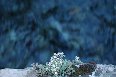 Affaccio sulle rapide (Spuma) Tags: italy italia fiume explore roccia acqua piante muschio sedum umbria nera macerata rapide visso fotografinewitaliangeneration