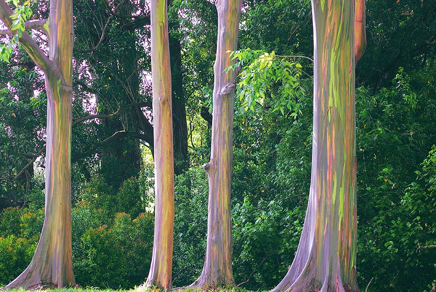Thumb Photos of the Rainbow Eucalyptus, a colorful tree