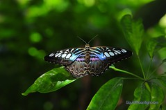 Butterflies - Malaysian Blue Clipper Butterfly (Darvin Atkeson) Tags: world california desktop flowers blue wild wallpaper usa color nature america butterfly outdoors us nikon marine photographer purple screensaver outdoor scenic butterflies kingdom exhibit flags size winged six vallejo malaysian clipper naturephotography d300 darvin wallpapersize outdoorphotography atkeson californiaphotography outdoorphotographer  darv californiaphotographer   liquidmoonlightcom liquidmoonlight darvinatkeson
