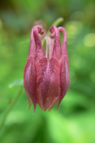 SOC Columbine Bud