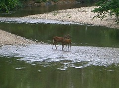 Deer in the Creek 3