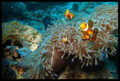 Nemo (OhYo) Tags: nemo scuba diving clownfish dayang