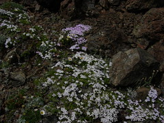 Phlox phlox and more phlox even here at the summit.