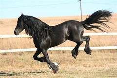 One of my fave Friesians (funkymelody) Tags: horse black stallion erwin friesian wwwperdepragcoza photographybyliesierynders ownerisliesie