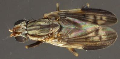 PherbelliaAlbovaria