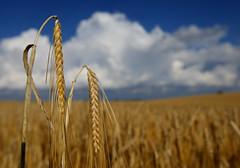 Grain (Lasse skovgaard) Tags: nature denmark jesters polfilter canoneos1dmarkiii flickrchallengegroup flickrchallengewinner canonef1635mmf28liiusm lasseskovgaard hoyapro1polarizing