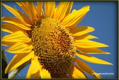 sunflower (urbiex) Tags: italy sun flower italia all rights 2008 reserved umbria theverybestofflickr urbiex