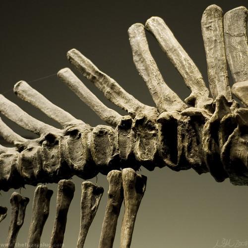 Tsintaosaurus Tail