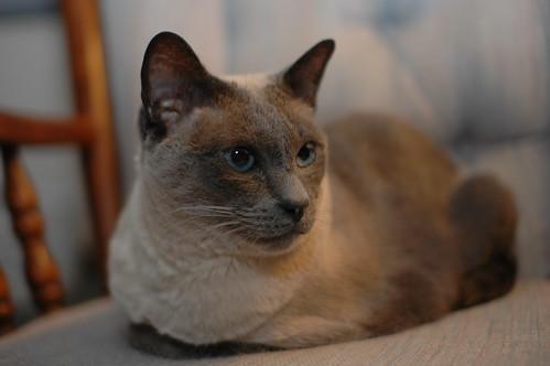 Maggie The Siamese
