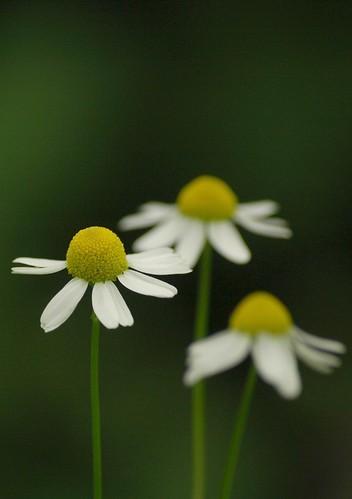 Matricaria chamomilla - Echte Kamille, Wild Chamomile