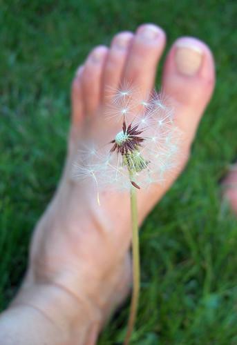 Dandelion foot