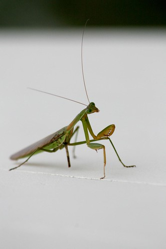 Praying Mantis (by niklausberger)
