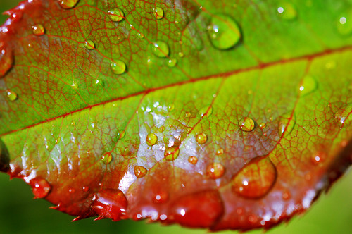 Raindrops on rose leaf