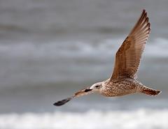 Zeemeeuw (Eisbeertje) Tags: bird birds animal animals nikon vogels dieren dier meeuw meeuwen tier vogel zeemeeuw zeemeeuwen tieren watervogels watervogel