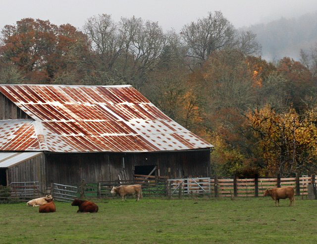 Cows and Fall