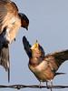 Feed Me......... (Random Images from The Heartland) Tags: chris birds southdakota aves bailey birdsinflight treeswallow tachycinetabicolor chrisbailey specanimal bail56 chrisbaileyimages