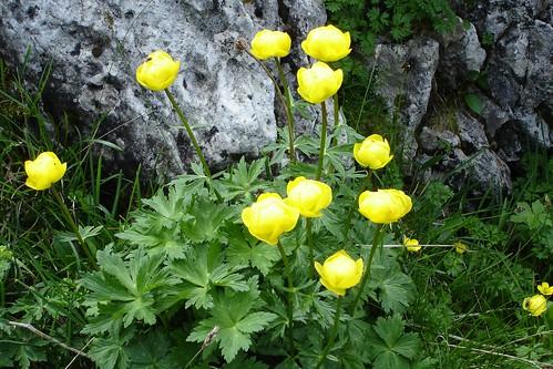 Globeflower (Trollius europeaus)