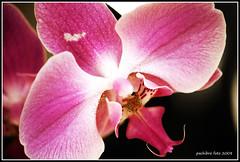 Orchidea (Pachibro Portfolio) Tags: canon eos fiori orchidea naturalmente 400d canoneos400d pasqualinobrodella pachibroportfolio pachibro