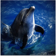 Dauphin (Spirit photos) Tags: ocean blue sea mer dolphin awesome animaux dauphin grandbleu mammifremarin