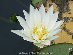 P2080949 HAVE A GREAT WEEKEND EVERYONE... (Frozen in Time photos by Marianne AWAY OFF/ON) Tags: flowers white flower green nature yellow waterlily waterlilies groundsforsculpture waterlilyandlotus flowersarefabulous flowerbudsandblossoms breathtakers