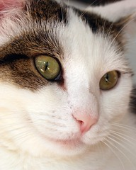 Jasmijn up close again (Cajaflez) Tags: pet cute cat eyes kat chat gato katze gatto poes blueribbonwinner cc400 cc300 cc200 cc100 cc500 goldenmix mywinners abigfave kissablekat bestofcats theunforgettablepictures rubyphotographer 100commentgroup catnipaddicts boc0708 mallmixstaraward