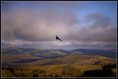 Eagle flying over the summit of Scafell Pike