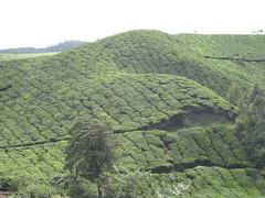 Tea Plantation - Munnar - Kerela