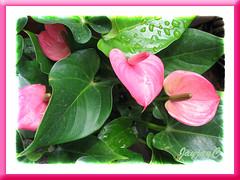 An unnamed variety of Anthurium andraeanum, seen in our neighbourhood