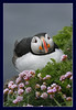 Flowerchild (hvhe1) Tags: bird nature animal iceland bravo searchthebest wildlife puffin naturesfinest latrabjarg specanimal hvhe1 hennievanheerden avianexcellence bratanesque vosplusbellesphotos