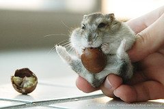 This is what I want (EricFlickr) Tags: life pet cute animal taiwan hamster hammy
