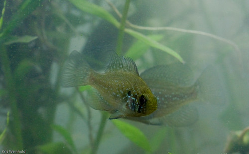 Bluespotted Sunfish