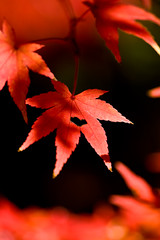 (yocca) Tags: autumn red leaves leaf kyoto heart momiji japanesemaple 2008  autumntints  dec2008