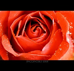 (*) (LINCOLNOSE2) Tags: red flower water rose droplet fff canoneos400d ef55250is lincolnose22008 onlydrops