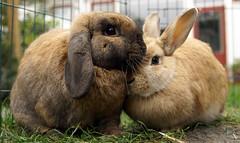 More bunny love (Sjaek) Tags: cute rabbit bunny bunnies love furry fluffy rabbits