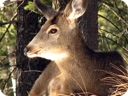 Giant deer.