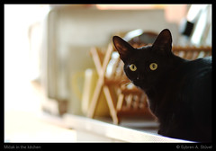 Miak in the kitchen (Sybren A. Stvel) Tags: black kitchen amsterdam animal cat eyes kat innocent worktop ogen keuken dier kater countertop aanrecht onschuldig basementcat lens:type=85mmf18usm miak p52:theme=beasties
