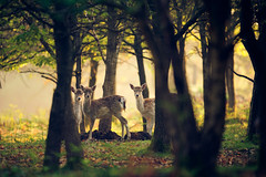 we're trying to hide! (andrew evans.) Tags: morning trees england nature misty fairytale forest sunrise countryside kent spring woods nikon bokeh wildlife deer ethereal f28 enchanted d3 400mm