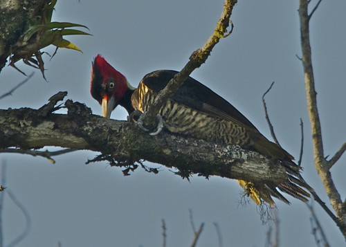 Pale-billed Woodpecker by Bird Brian