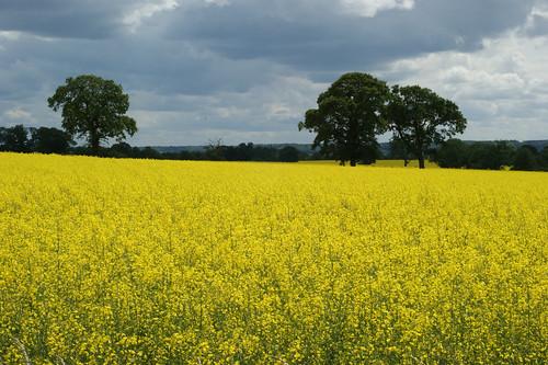 Mellow Yellow fields