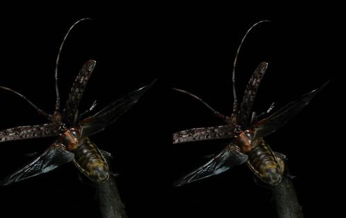 Monochamus alternatus, stereo parallel view